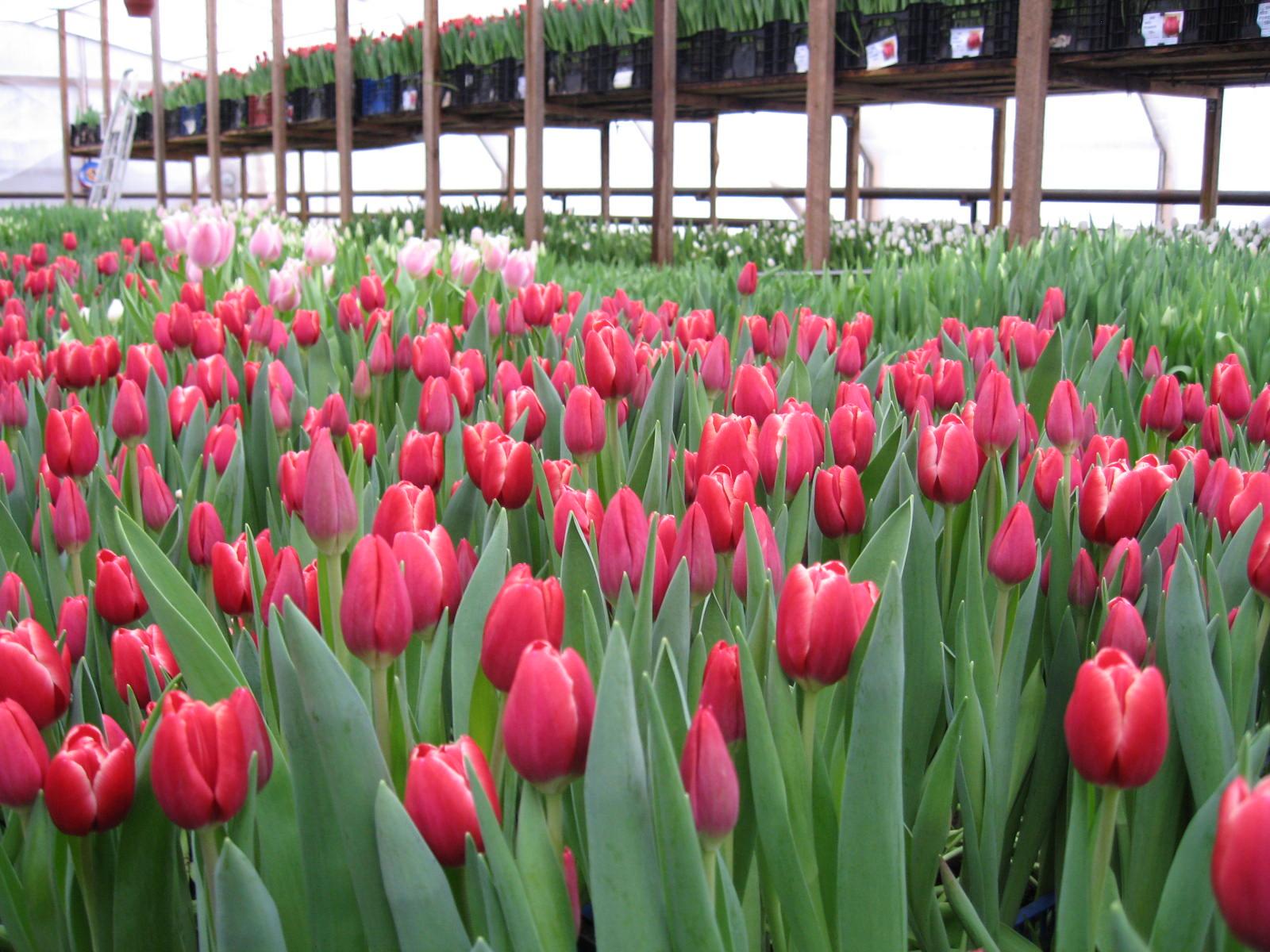 Букет ландышей, где купить букет тюльпанов для выгонки
